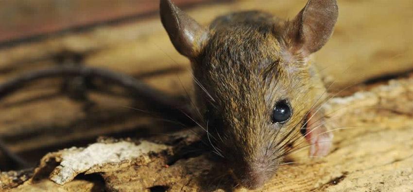 Mice Control Services Surrey