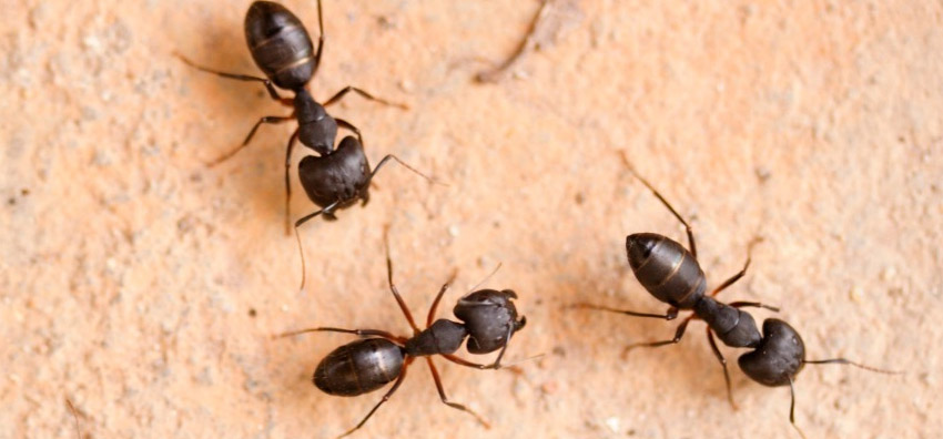 , Ants Control Services